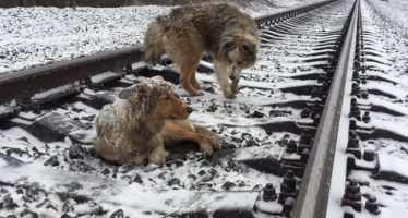 ორი ძაღლის ამაღელვებელი ისტორია — როგორ არ დატოვა ხვადმა დაჭრილი ძუ